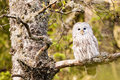 The ural owl strix uralensis or on rock Royalty Free Stock Photos