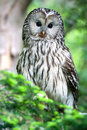 Ural owl on tree in bavaria Royalty Free Stock Image