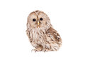 Ural Owl on the white background Royalty Free Stock Photo