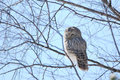 Ural owl wild dozing on a branch Stock Photography