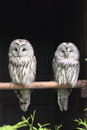 Ural owls strix uralensis sitting on branch Stock Image