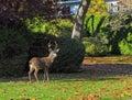 Urban deer wandering the street of a suburban neighborhood Royalty Free Stock Photos