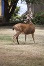 Urban deer in yard of suburb home Stock Photo