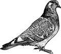 Urban dove vector drawing of the pigeon Royalty Free Stock Images