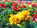 Urban gardening. The greening of cities. A yellow and red blooming begonias in the flower bed. Autumn flowers.