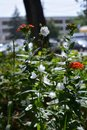 Urban greening. Beautiful red flowers of Lychnis chalcedonica and white bellflowers grow in city yard. Guerrilla gardening