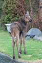 Urban moose calf a young in a neighborhood Royalty Free Stock Photos
