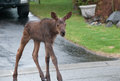 Urban moose calf a young in a neighborhood Stock Image