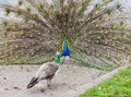 Urban peacocks courting ritual of Stock Images
