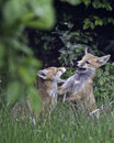 Urban Red Fox Cubs Play fighting Royalty Free Stock Images
