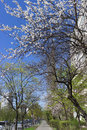Urban sidewalk alley in spring with blooming fruit trees against blue sky Royalty Free Stock Photo