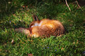 Urban sleeping fox on the grass