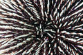 Urchin spines sea in close up Royalty Free Stock Images