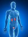 Urinary system d rendered illustration of the Stock Photography