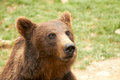 Ursus arctos brown bear Royalty Free Stock Image