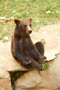 Ursus arctos brown bear Stock Images