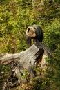 Ursus arctos. Brown bear. The photo was taken in Slovakia.