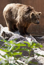 Ursus arctos mammal brown bear Stock Photography