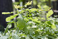 Urtica dioica, often called common nettle or stinging nettle