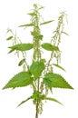 Urtica urens (Stinging nettle) plant