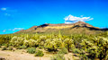 Usery Mountain Regional Park with is many Saguaro and Cholla Cacti under blue sky Royalty Free Stock Photo