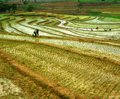 Usines de riz en paddy field Photographie stock