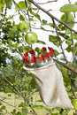 Using fruit picking stick in apple orchard, close up Royalty Free Stock Photo