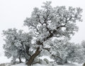 Utah juniper tree juniperus osteosperma in snow s san raphael swell near canyonlands national park on a foggy day and covered Royalty Free Stock Image