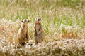 Utah Prairie Dogs Royalty Free Stock Photo