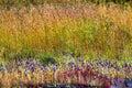 Utricularia delphinoides beautiful blur golden grass