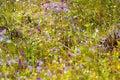 Utricularia delphinoides beautiful