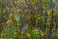Utricularia delphinoides and field green grass