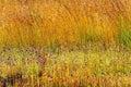 Utricularia delphinoides flower mix field golden grass