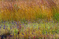 Utricularia delphinoides mix field yellow grass