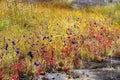 Utricularia delphinoides and Utricularia bifida