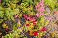 Utter tundra bushes of various plants in the Royalty Free Stock Image