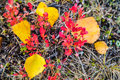 Utter tundra bushes of various plants in the Royalty Free Stock Photography