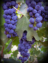 Uvas de Cabernet Fotos de Stock Royalty Free