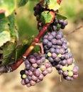 Uvas no vinhedo no Niagara-em--Lago, Canadá Imagens de Stock