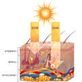 Uvb and uva radiation penetrate into skin detailed skin anatomy Stock Images
