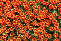 Vår tulip flowers background fält av tulip flovers på en vårfestival Royaltyfria Foton