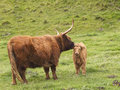 Vaca e vitela das montanhas Imagem de Stock Royalty Free