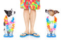 Vacation for three two dogs ready summer looking up at owner Royalty Free Stock Image
