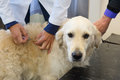 Vaccination for dog golden retriever is getting by the veterinarian Royalty Free Stock Photos