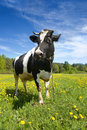 Vache noire et blanche Images stock