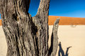 Vachellia erioloba camel thorn giraffe thorn afrikaans kameeldoring deadvlei is a white clay pan located near the more famous salt Stock Photos