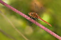 Vagrant darter or sympetrum resting red vulgatum dragonfly in summer Royalty Free Stock Photography