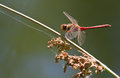 Vagrant darter or sympetrum resting red vulgatum dragonfly at the waterside in summer Royalty Free Stock Photo