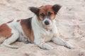 Vagrant dog Royalty Free Stock Photo
