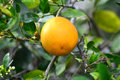 Valencia Orange On Tree 2 Stock Photos